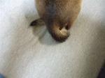 豚の尻尾アップ